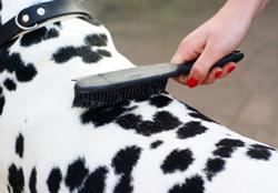 Verzorging van de Dalmatier